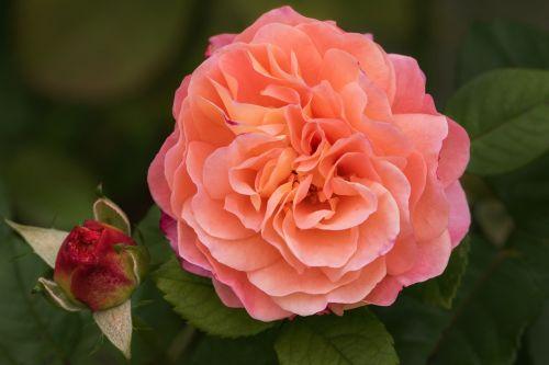 gamta,sodas,gėlės,rožės,mano sode rožės,augusta luise,kvepiančios rožės,floribunda