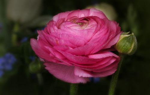 nature flowers ranunculus