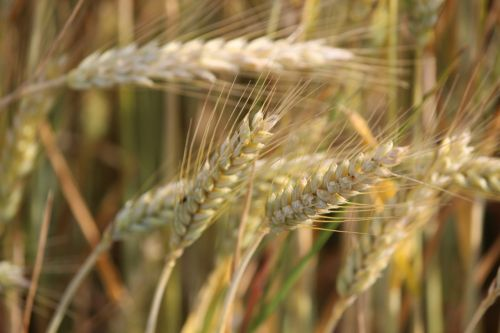 nature cereals agriculture