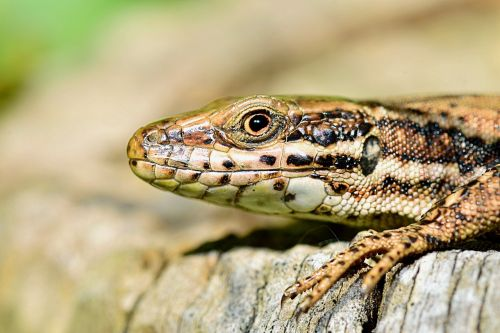 nature lizard macro