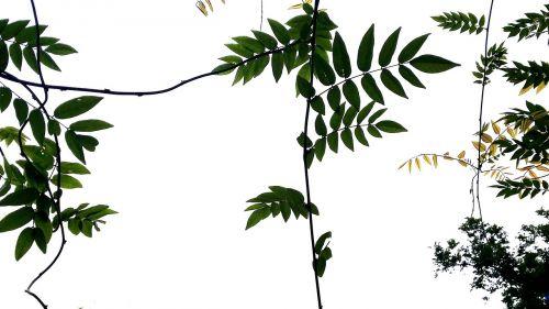 nature the vine stem