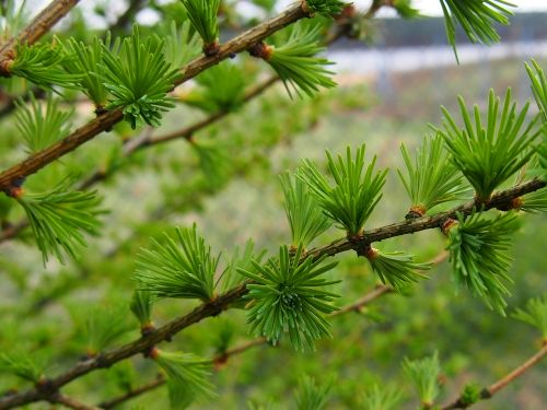 nature larch sprig