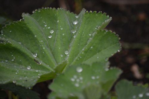 nature frauenmantel leaf