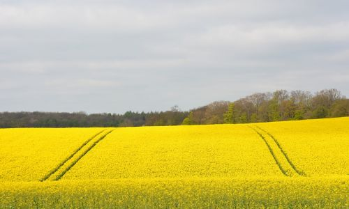 nature field oilseed rape
