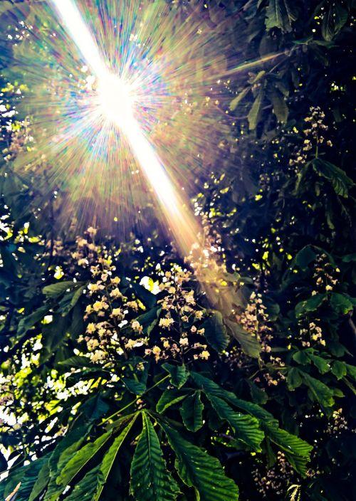 nature chestnut tree