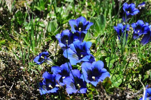 nature gentian alpine