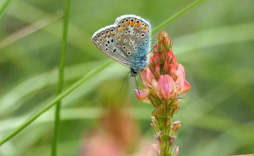 nature butterfly azure