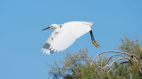 nature bird egret
