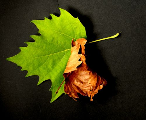 nature foliage sycamore