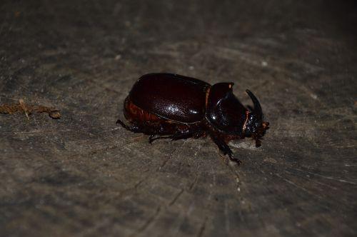 nature animal beetle