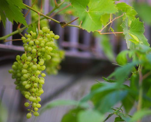 nature grape fruit