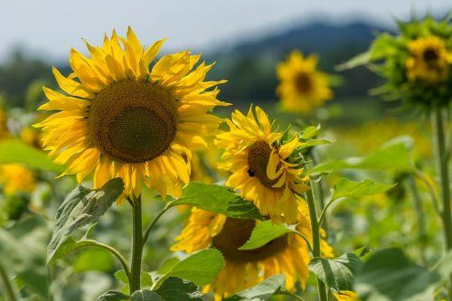gamta,gėlė,saulės gėlė,vasara,lapai,fonas,augalas,sodas,laukinė gėlė,žiedas,žydėti,žinoma,graži gėlė,gamtos gėlė,gėlės