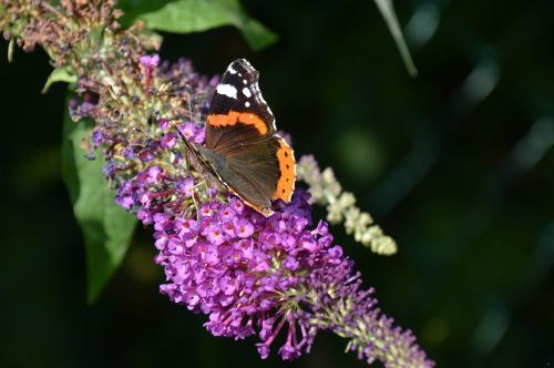 nature lilac butterfly