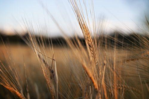 nature wheat field