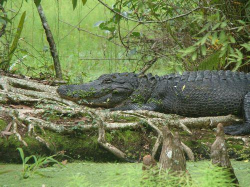 nature aligator animal