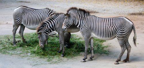 nature animals zebra