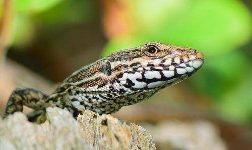 nature lizard reptile