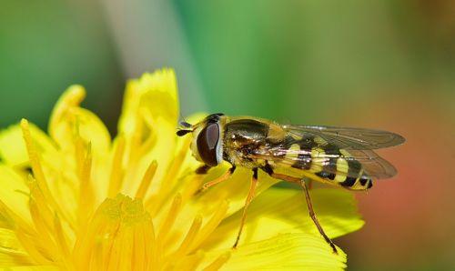 gamta,skristi,vabzdžiai,makro,bichito,gėlė,gadfly,vabzdžių makro,gamtos makro,geltona,laukas,sodas,vabzdys,augalas,gėlės