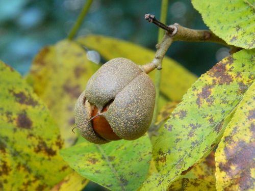 nature acorns leaves