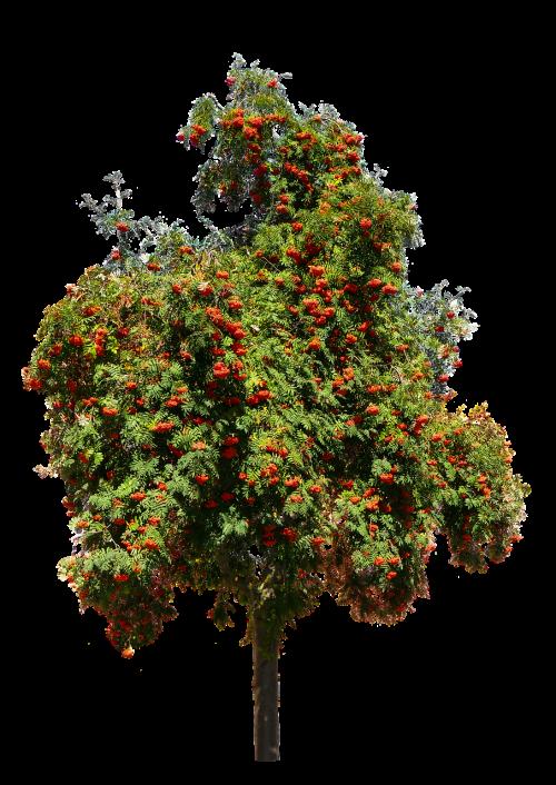 nature tree rhus
