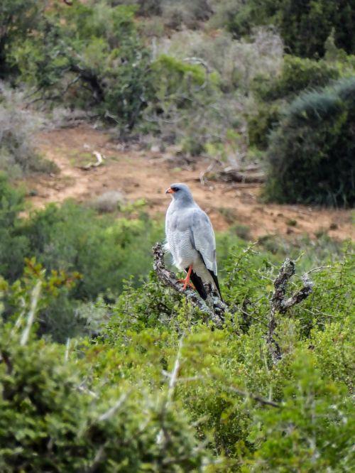 nature bird of prey raptor