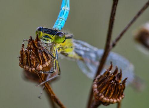 nature azure bridesmaid dragonfly
