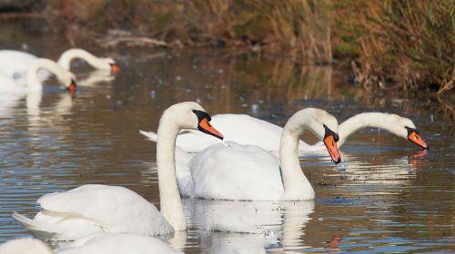gamta,gulbės,paukščiai,balta,tvenkinys