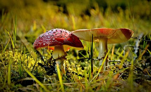 nature poisonous mushrooms amanita