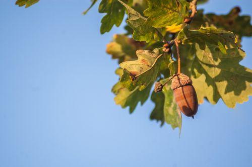 nature acorn oak