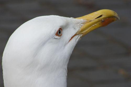 nature gull seabird