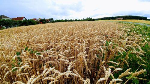nature cornfield summer