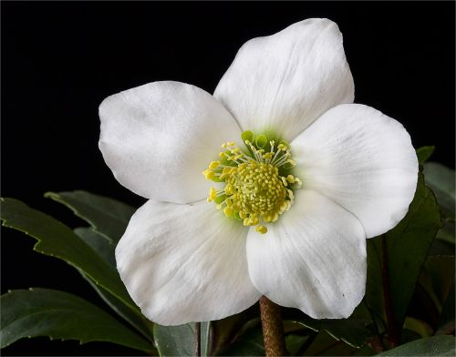 nature flowers christmas rose