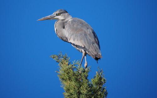 nature birds heron