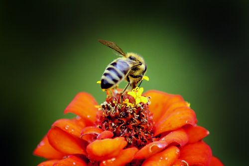 gamta,vabzdys,bičių,gėlė,lauke,medus,Iš arti,medaus BITĖ,gyvūnas,žiedadulkės,žalias,oranžinė,makro,klaida,geltona,Uždaryti