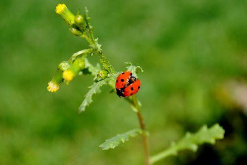 gamta,vabzdys,lapai,augalas,Boružė,vabalas,gėlė,pieva