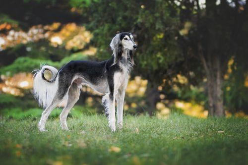 nature dog greyhound