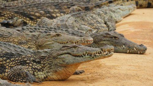 nature crocodile nile crocodile