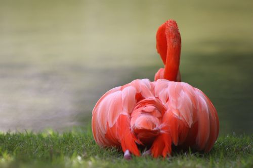 nature flamingo caribbean