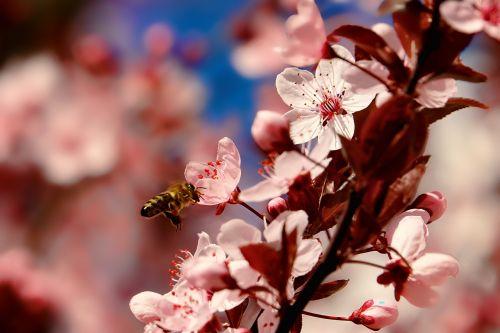 nature cherry wood bee