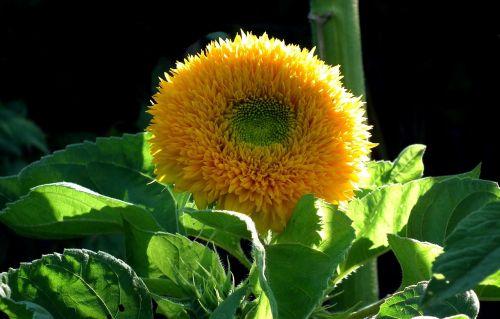 nature flower sunflower