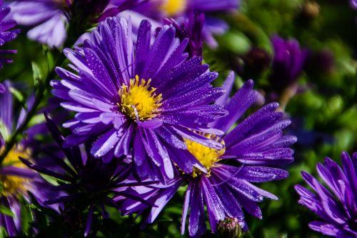 gamta,gėlė,augalas,sodas,vasara,spalva,gėlės,gėlių,šviesus,Uždaryti,violetinė,purpurinė gėlė,violetinė arti violetinė,asters