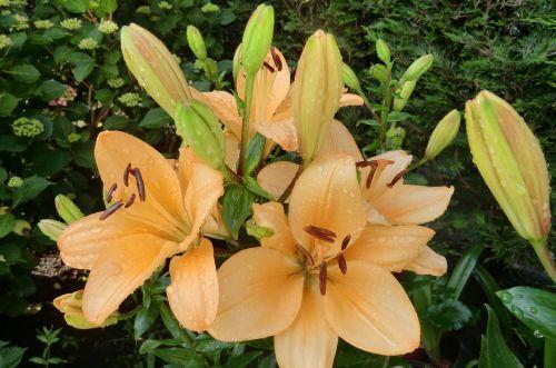 gamta,augalas,lelija,gėlės,vasara,sodas,žydėti,sodo augalas