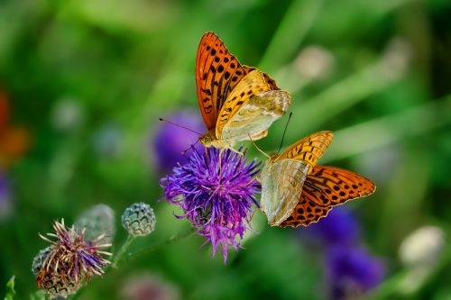 nature butterfly fritillary