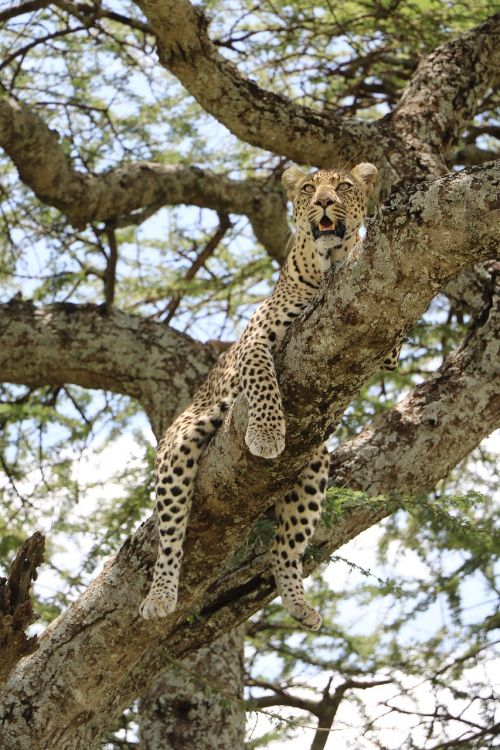 nature cheetah