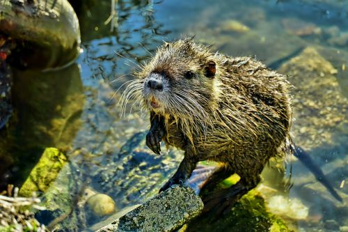 nature waters nutria-young