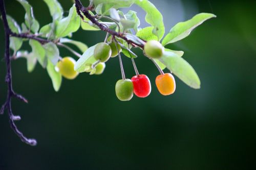 nature,leaf,wood,fruit,plants,cherries,bodhi,greenness