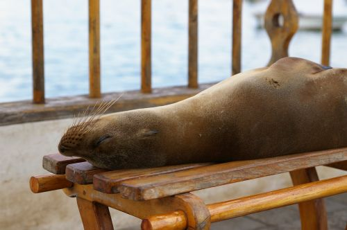 nature sea lion robbe