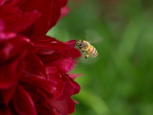 gamta, gėlė, lauke, flora, vabzdys, bičių, vasara, pikonija, žiedadulkės, sodas, makro, spalvinga, be honoraro mokesčio