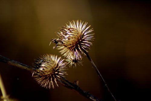 nature thistle plant