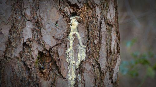 nature tree bitumen